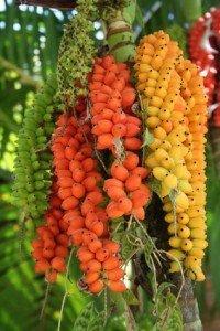 betel nut palm