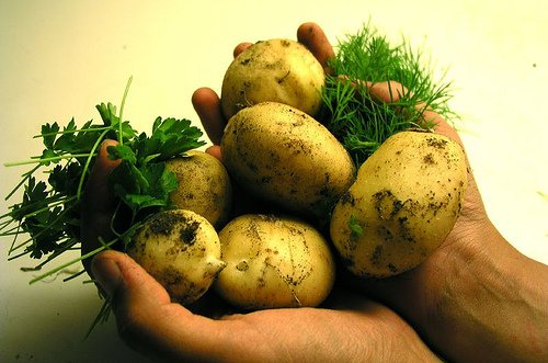 potatoes cupped in hands after harvesting