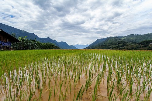 Field Crops Rice Rice Crop Growing in Paddy