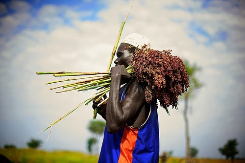 sorghum being carried after harvest