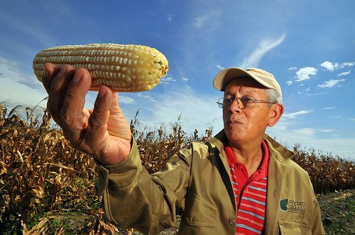 corn maze crop being examined